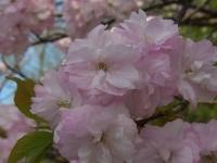 20140504日本国花苑 (3)