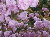 20140504日本国花苑 (8)
