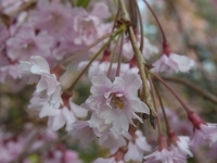 20140504日本国花苑 (12)
