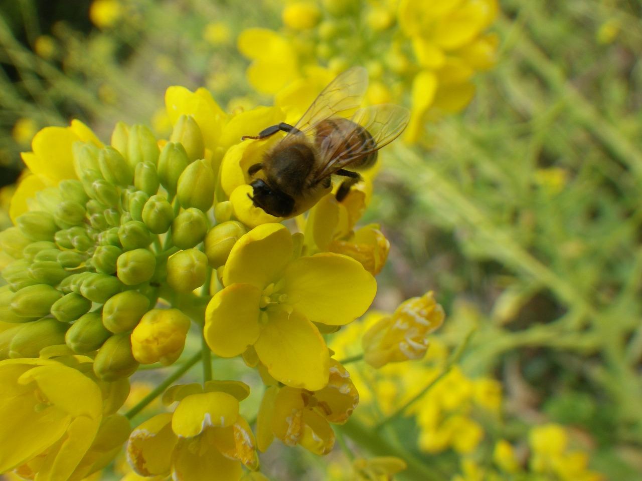 菜の花&ミツバチ