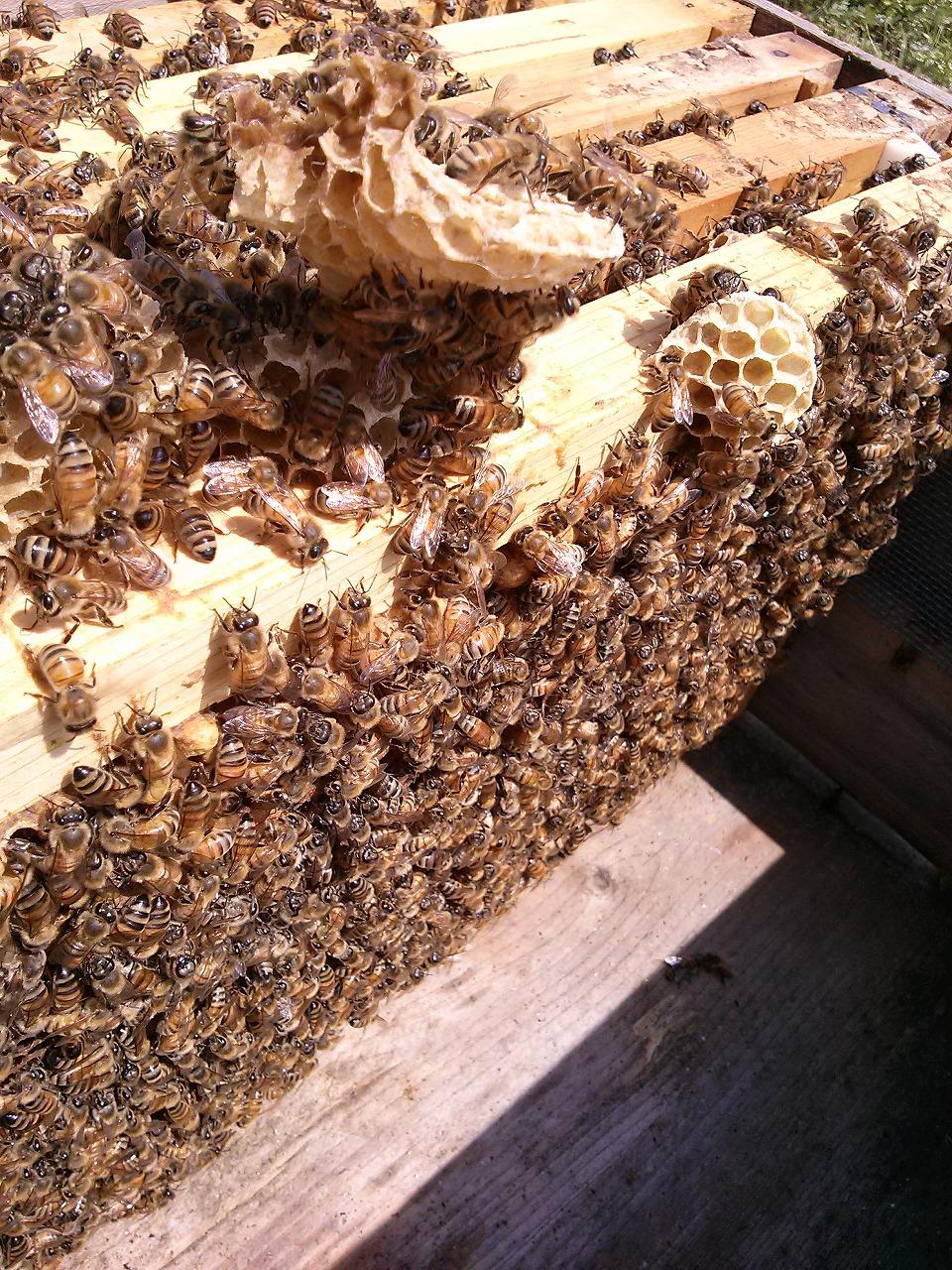 蜂の様子20150331