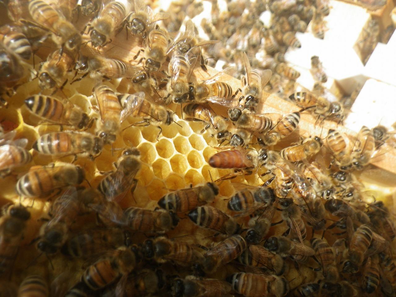 女王蜂のケツ