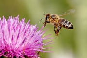 Honeybee_landing_on_milkthistle02.jpg