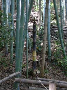 かぐや姫のおじいさんが見た竹