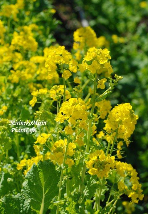 20150305菜の花