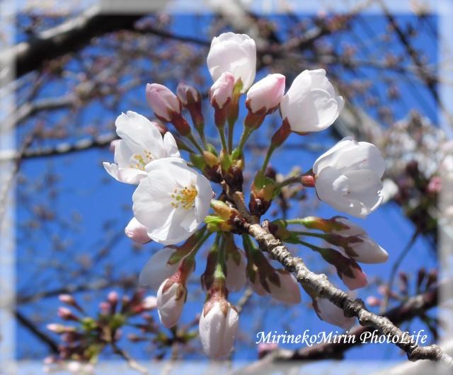 20150325桜1