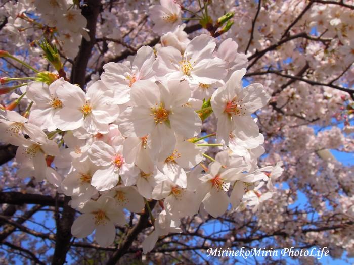 20150330家の前の桜