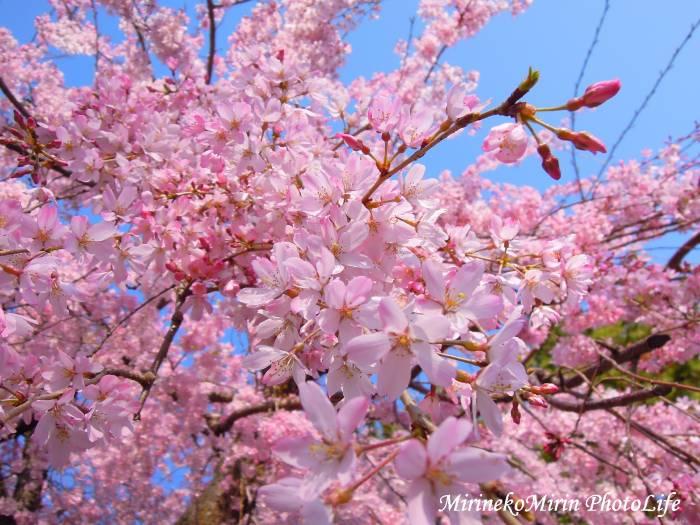 20150330枝垂れ桜