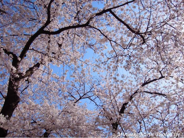 20150330公園の桜