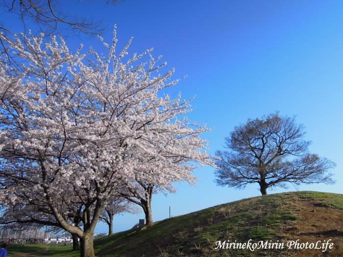 20150403からっぽの木の桜