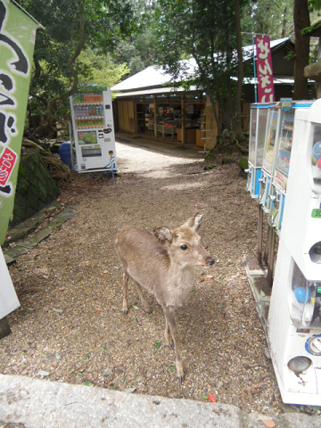 17 小鹿が自動販売機の横からのぞいています