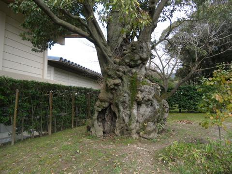 20 めずらしいおおきなコブだらけの幹の木