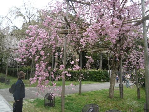 25 美しい枝垂桜