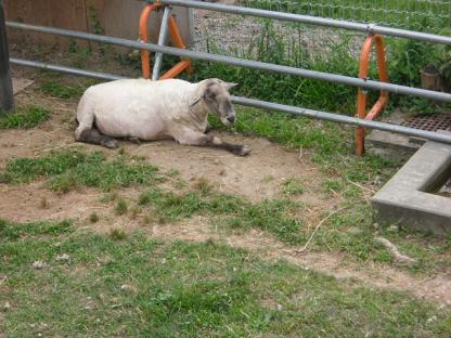 27 ちかごろ入ってきたヤギの「マッサン」