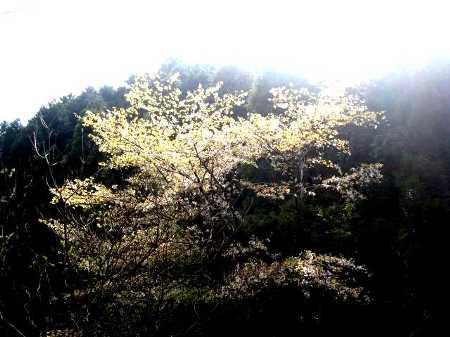 IMG_4282散り始めた山桜です