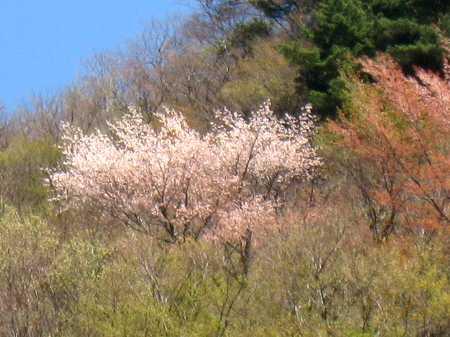 IMG_4453山桜が綺麗です