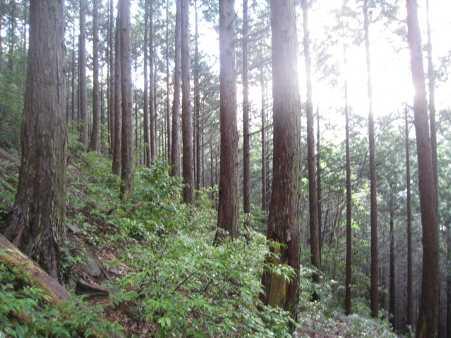 IMG_4575手入れされた杉林です