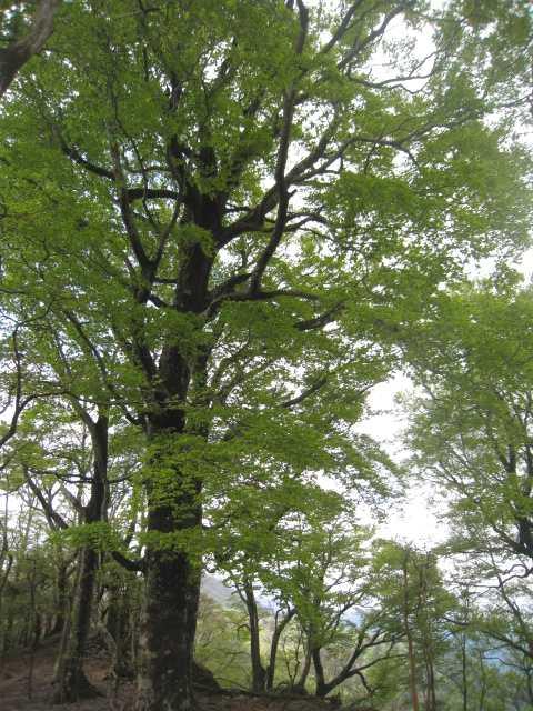 4717 見事なブナの大木が並ぶ万次越です
