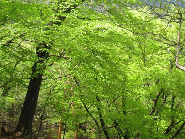IMG_4710下山中の新緑です、すっかり晴れた青空になりました