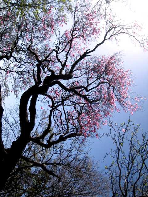 IMG_4794高木のアケボノツツジです、今年は若干花の付きが悪いようです