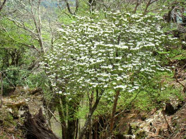 IMG_4835  ムシカリの花です