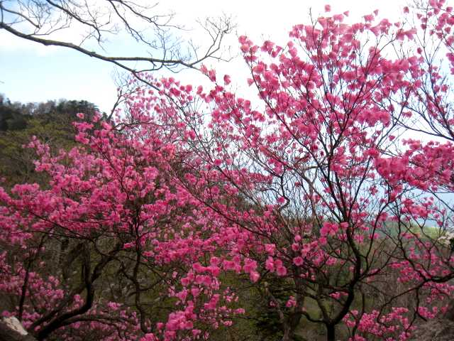 IMG_4840 ピンクの濃い一本のアケボノツツジです