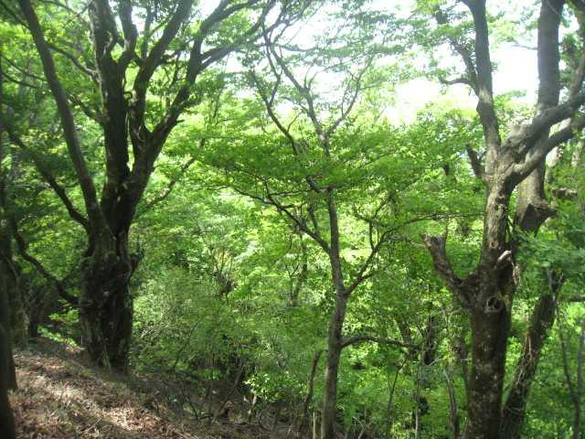 IMG_5049ブナの林が続きます
