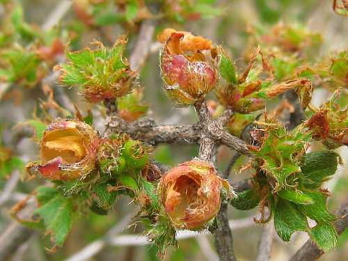 IMG_5316花芽を喰われたミヤマキリシマ
