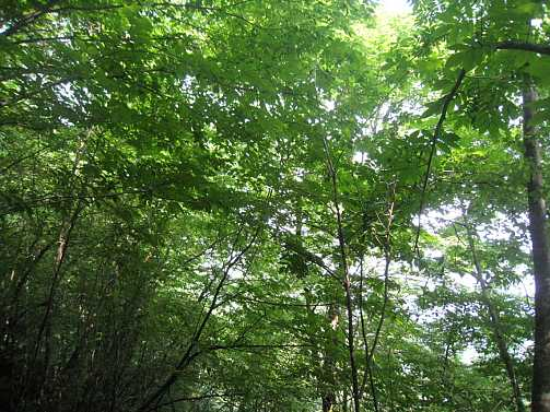 IMG_5498  シオジの林