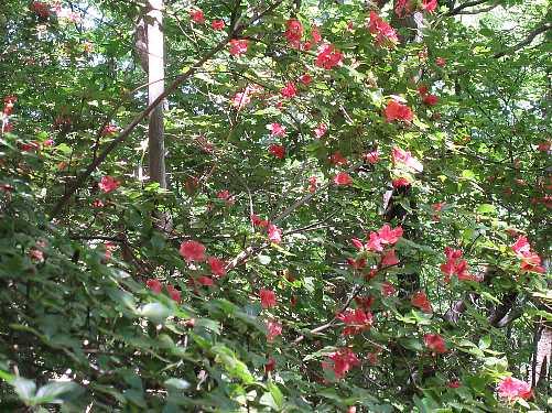 IMG_0077 高木のヤマツツジ