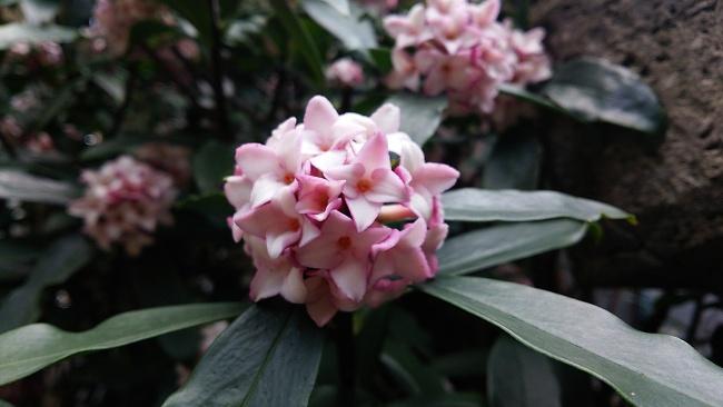 150312沈丁花 (2)