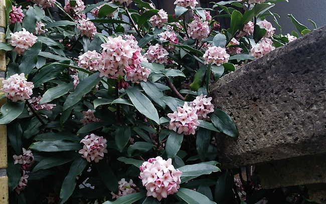 150312沈丁花 (1)