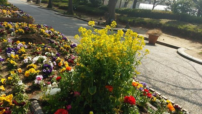 150317菜の花 (3)