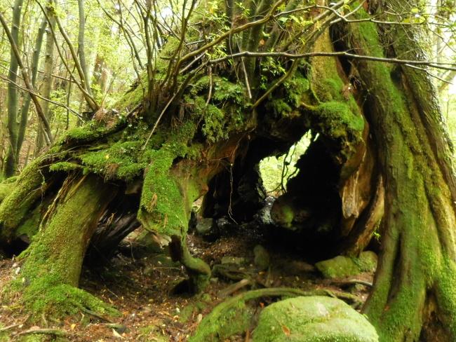 150508屋久島巨木 (1)