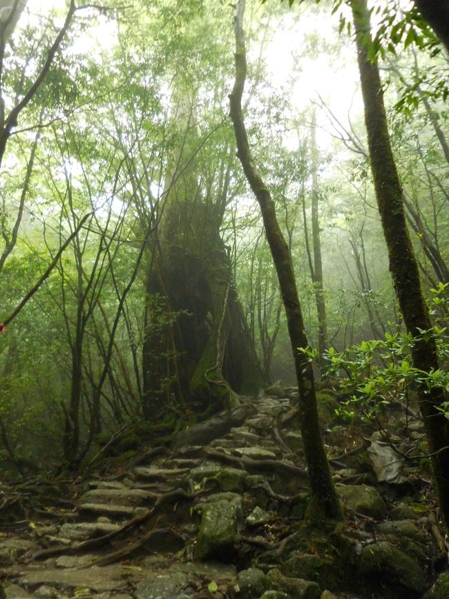 150508屋久島巨木 (3)
