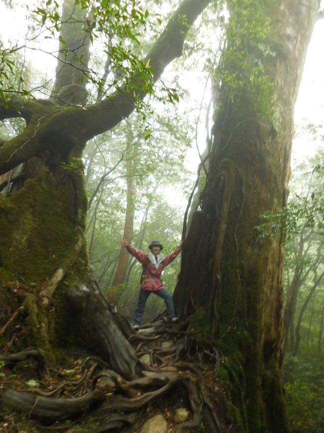 150508屋久島巨木 (2)
