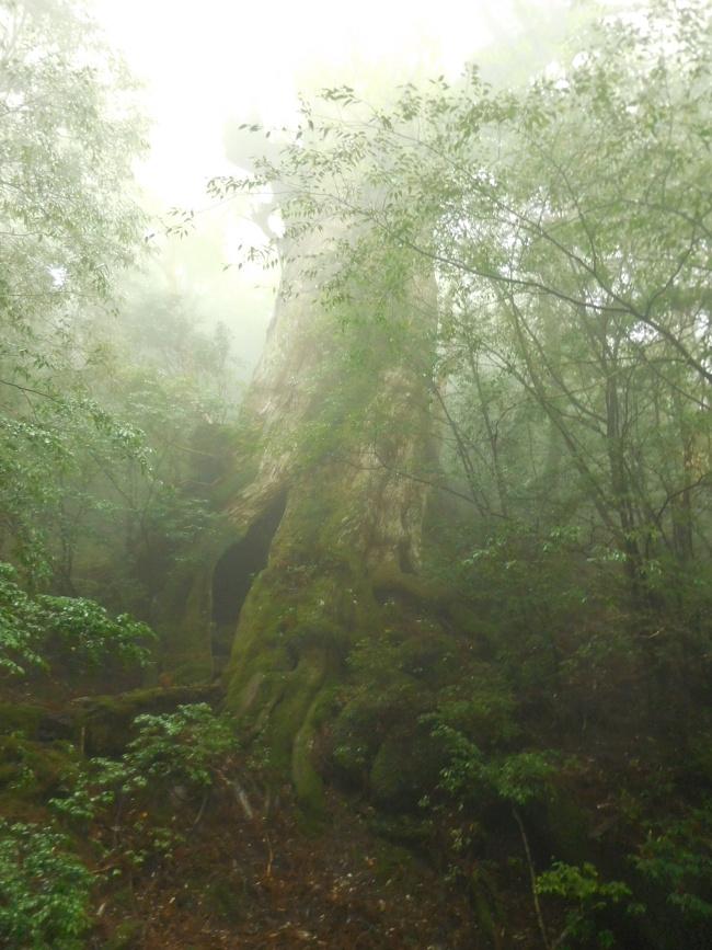 150508屋久島巨木 (4)