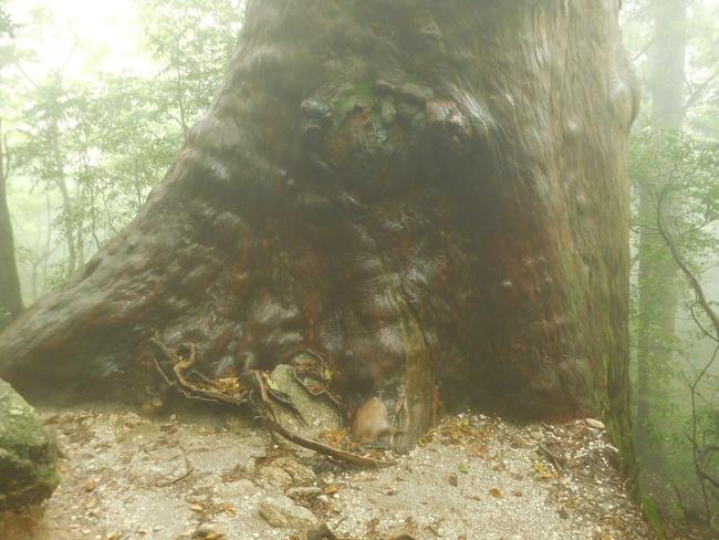 150508屋久島巨木 (5)