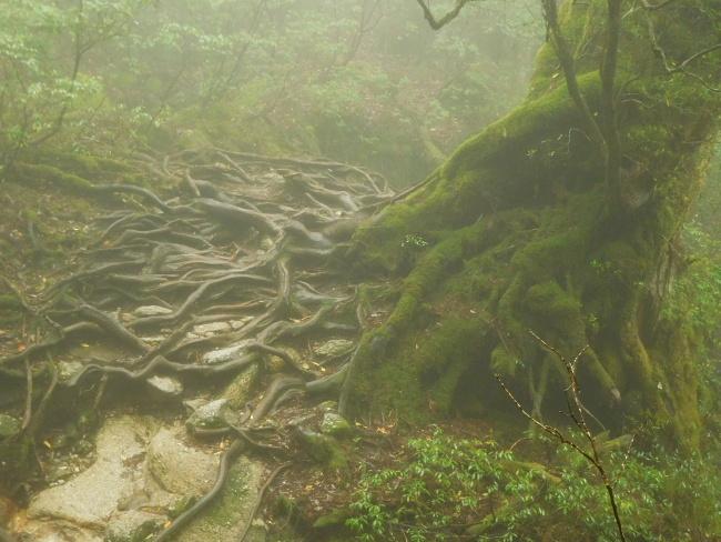 150508屋久島巨木 (7)