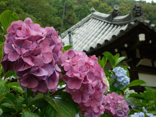 150623紫陽花 (3)