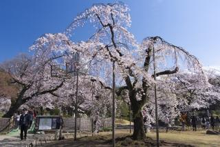 小石川後楽園のシダレ桜
