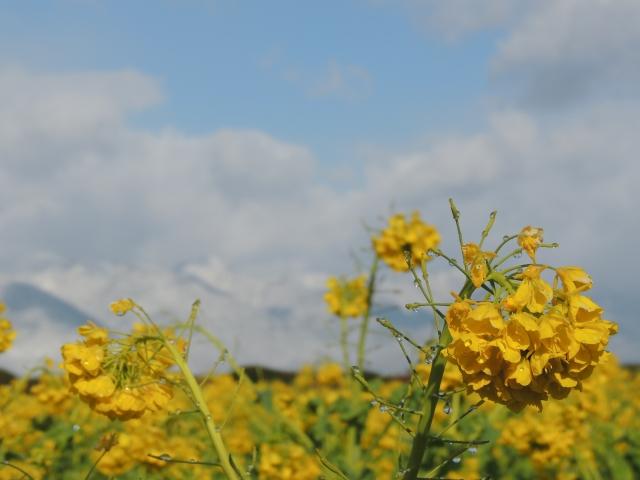 N5333菜の花