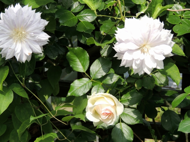 N6071薔薇とクレマチス
