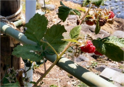 08 500 20150607 菜園:初のraspberry