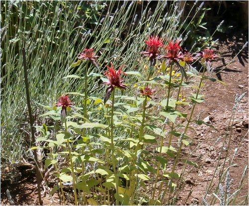 09 500 20150607 菜園:赤いBergamot