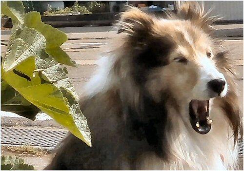 02b 500 20150529 立葵 初の花 Erie Yawning + チャドクガ