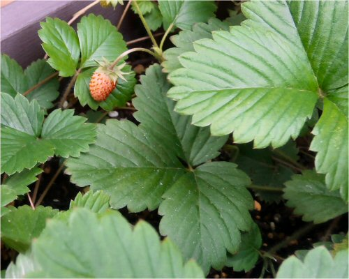 07 500 20150612 wild-strawberries
