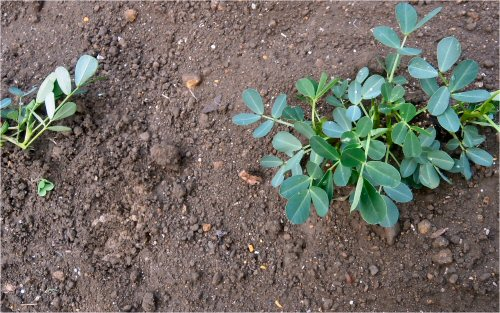 09 500 20150612 just planted peanuts