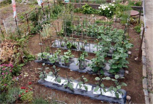 06 500 20150622 LL菜園after rain