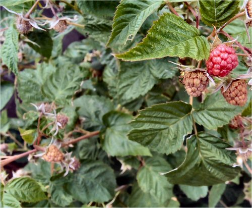 06 500 20150612 raspberry so many
